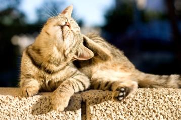 gato-rasca